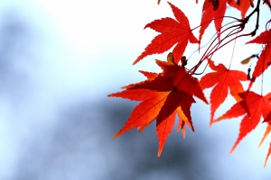 red maple leaves with blurry bg